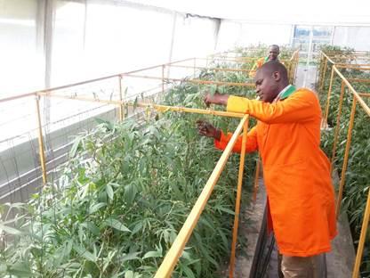 KEPHIS sweetpotato screenhouse E Ngundo